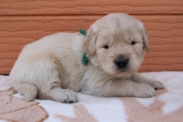 ゴールデンレトリバーの子犬(ID:1247411382)の4枚目の写真/更新日:2017-04-12
