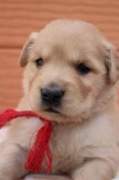 ゴールデンレトリバーの子犬(ID:1247411383)の1枚目の写真/更新日:2017-04-12