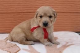 ゴールデンレトリバーの子犬(ID:1247411383)の2枚目の写真/更新日:2017-04-12