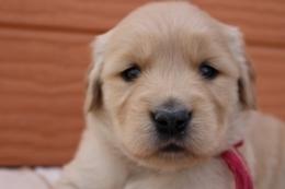 ゴールデンレトリバーの子犬(ID:1247411384)の1枚目の写真/更新日:2017-04-12