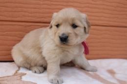 ゴールデンレトリバーの子犬(ID:1247411384)の3枚目の写真/更新日:2017-04-12