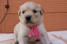 ゴールデンレトリバーの子犬(ID:1247411385)の1枚目の写真/更新日:2017-04-12