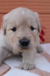 ゴールデンレトリバーの子犬(ID:1247411386)の1枚目の写真/更新日:2017-04-12