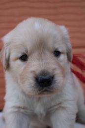 ゴールデンレトリバーの子犬(ID:1247411386)の2枚目の写真/更新日:2017-04-12