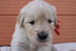 ゴールデンレトリバーの子犬(ID:1247411386)の3枚目の写真/更新日:2017-04-12