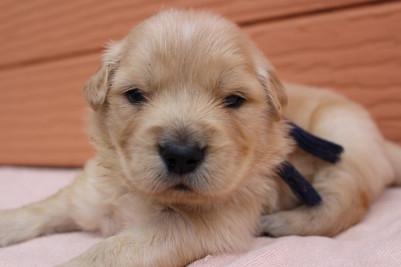 ゴールデンレトリバーの子犬(ID:1247411387)の1枚目の写真/更新日:2017-04-12