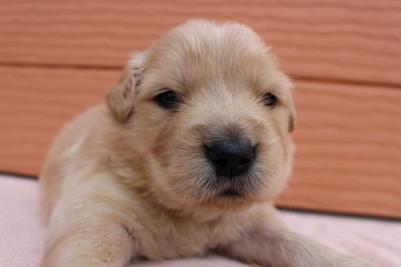 ゴールデンレトリバーの子犬(ID:1247411387)の3枚目の写真/更新日:2017-04-12