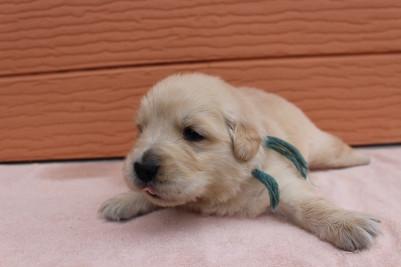 ゴールデンレトリバーの子犬(ID:1247411389)の4枚目の写真/更新日:2018-06-05
