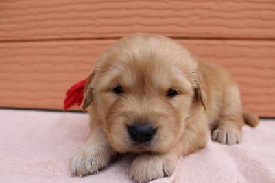 ゴールデンレトリバーの子犬(ID:1247411390)の1枚目の写真/更新日:2017-04-12