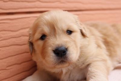 ゴールデンレトリバーの子犬(ID:1247411390)の3枚目の写真/更新日:2017-04-12