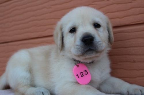 ラブラドールレトリバーの子犬(ID:1247411391)の3枚目の写真/更新日:2019-11-27