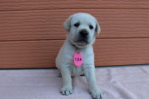ラブラドールレトリバーの子犬(ID:1247411392)の1枚目の写真/更新日:2017-04-12