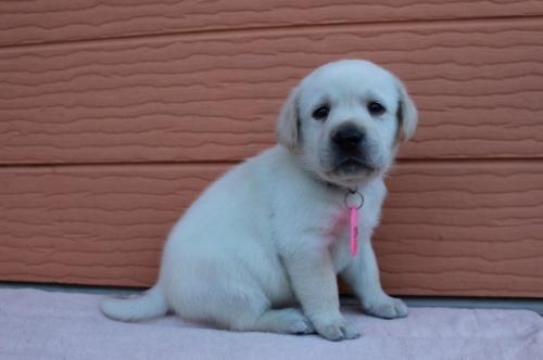 ラブラドールレトリバーの子犬(ID:1247411392)の3枚目の写真/更新日:2017-04-12