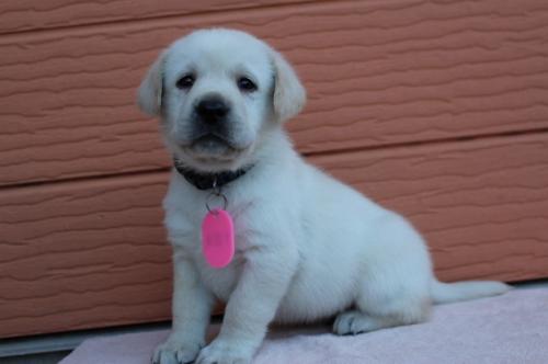 ラブラドールレトリバーの子犬(ID:1247411392)の4枚目の写真/更新日:2019-11-27