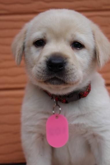 ラブラドールレトリバーの子犬(ID:1247411393)の2枚目の写真/更新日:2017-04-12