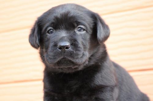 ラブラドールレトリバーの子犬(ID:1247411394)の1枚目の写真/更新日:2017-04-12