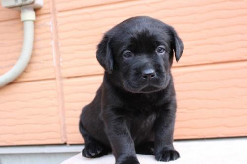 ラブラドールレトリバーの子犬(ID:1247411394)の2枚目の写真/更新日:2017-04-12