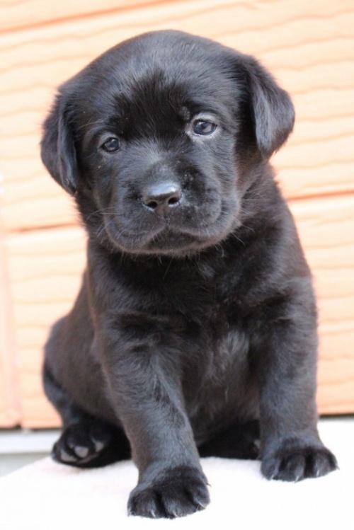 ラブラドールレトリバーの子犬(ID:1247411394)の3枚目の写真/更新日:2017-04-12