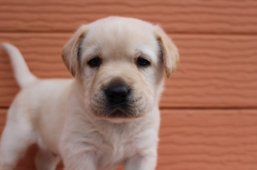 ラブラドールレトリバーの子犬(ID:1247411395)の1枚目の写真/更新日:2017-04-12