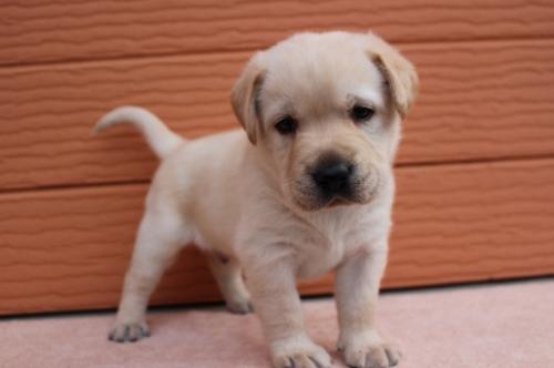 ラブラドールレトリバーの子犬(ID:1247411395)の2枚目の写真/更新日:2018-06-05