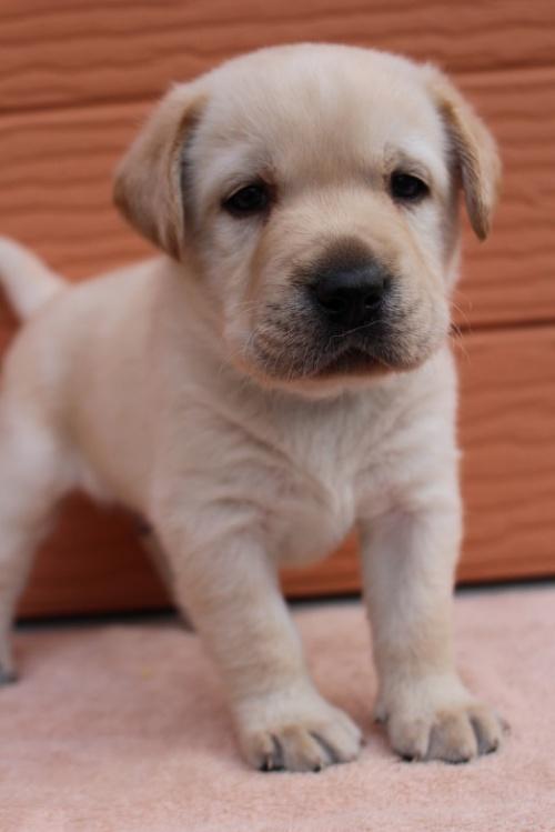 ラブラドールレトリバーの子犬(ID:1247411395)の3枚目の写真/更新日:2018-06-05