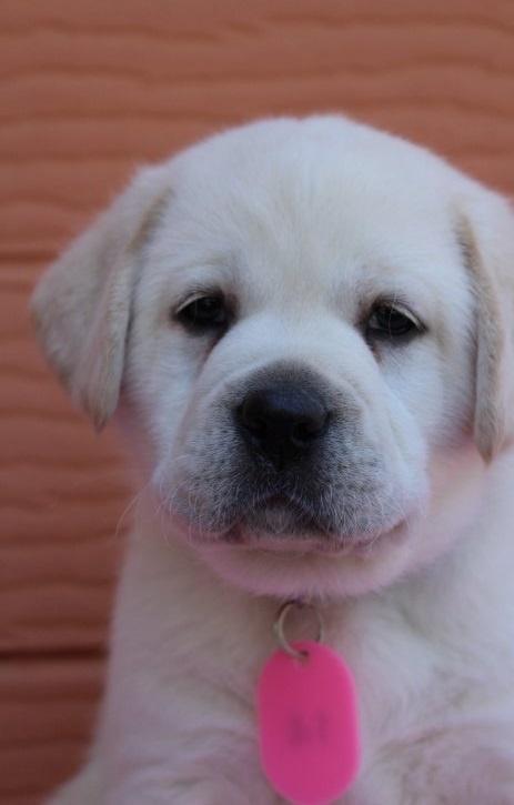 ラブラドールレトリバーの子犬(ID:1247411396)の1枚目の写真/更新日:2018-06-05