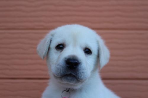 ラブラドールレトリバーの子犬(ID:1247411398)の1枚目の写真/更新日:2017-04-12
