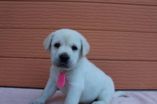 ラブラドールレトリバーの子犬(ID:1247411398)の2枚目の写真/更新日:2018-06-05