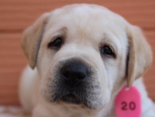 ラブラドールレトリバーの子犬(ID:1247411399)の1枚目の写真/更新日:2017-04-12