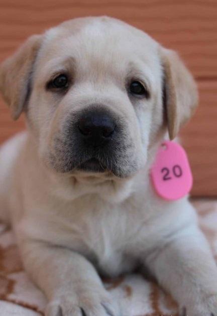 ラブラドールレトリバーの子犬(ID:1247411399)の2枚目の写真/更新日:2017-04-12
