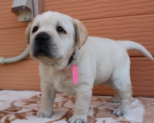 ラブラドールレトリバーの子犬(ID:1247411399)の3枚目の写真/更新日:2017-04-12