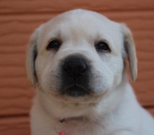 ラブラドールレトリバーの子犬(ID:1247411400)の1枚目の写真/更新日:2017-04-12