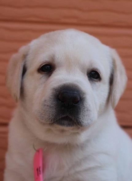 ラブラドールレトリバーの子犬(ID:1247411400)の2枚目の写真/更新日:2017-04-12