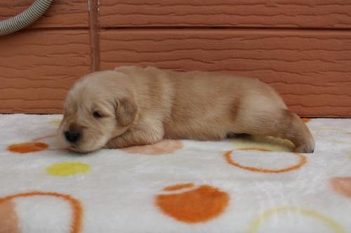 ゴールデンレトリバーの子犬(ID:1247411401)の3枚目の写真/更新日:2018-06-05