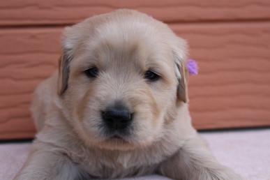 ゴールデンレトリバーの子犬(ID:1247411403)の1枚目の写真/更新日:2017-04-24