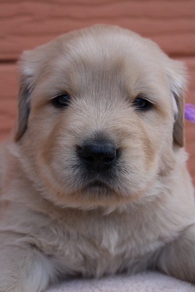 ゴールデンレトリバーの子犬(ID:1247411403)の2枚目の写真/更新日:2017-04-24