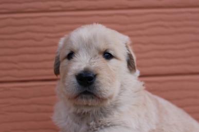 ゴールデンレトリバーの子犬(ID:1247411404)の1枚目の写真/更新日:2017-04-24