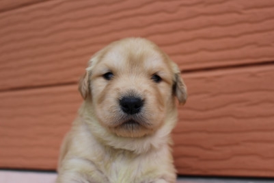 ゴールデンレトリバーの子犬(ID:1247411405)の1枚目の写真/更新日:2017-04-24