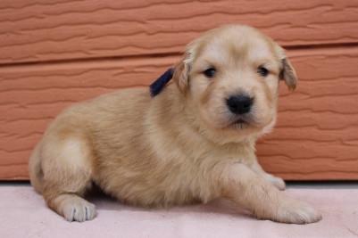 ゴールデンレトリバーの子犬(ID:1247411405)の2枚目の写真/更新日:2018-06-05