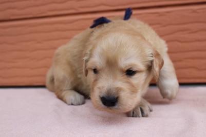 ゴールデンレトリバーの子犬(ID:1247411405)の3枚目の写真/更新日:2018-06-05