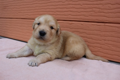 ゴールデンレトリバーの子犬(ID:1247411405)の4枚目の写真/更新日:2018-06-05