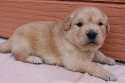 ゴールデンレトリバーの子犬(ID:1247411406)の3枚目の写真/更新日:2018-06-05