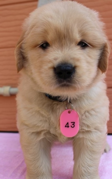 ゴールデンレトリバーの子犬(ID:1247411407)の1枚目の写真/更新日:2017-04-24