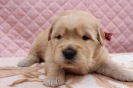 ゴールデンレトリバーの子犬(ID:1247411410)の1枚目の写真/更新日:2017-04-24