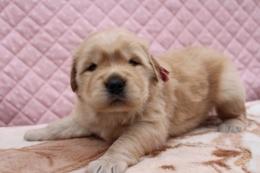 ゴールデンレトリバーの子犬(ID:1247411410)の2枚目の写真/更新日:2017-04-24