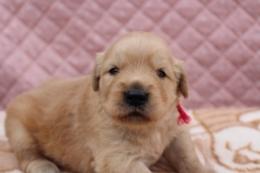 ゴールデンレトリバーの子犬(ID:1247411411)の1枚目の写真/更新日:2017-04-24