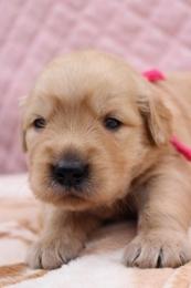 ゴールデンレトリバーの子犬(ID:1247411411)の2枚目の写真/更新日:2017-04-24