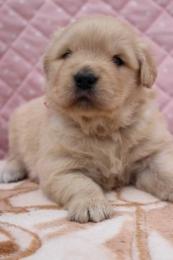 ゴールデンレトリバーの子犬(ID:1247411412)の2枚目の写真/更新日:2017-04-24