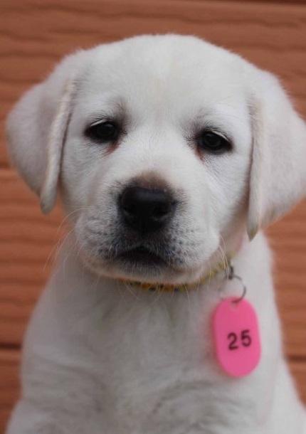 ラブラドールレトリバーの子犬(ID:1247411415)の1枚目の写真/更新日:2018-08-15