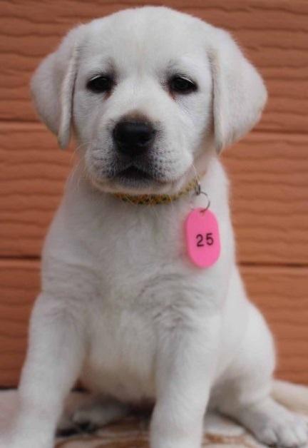 ラブラドールレトリバーの子犬(ID:1247411415)の3枚目の写真/更新日:2018-08-15